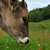 cow on a green summer meadow blurred background stock photo © razvanphotos