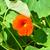 garden nasturtium tropaeolum majus stock photo © rbiedermann
