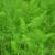 fennel foeniculum vulgare stock photo © rbiedermann