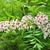 chinese flowering chestnut xanthoceras sorbifolium stock photo © rbiedermann