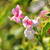 weigela weigela florida stock photo © rbiedermann