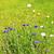 garden cornflowers stock photo © rbiedermann