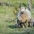 mère · moutons · printemps · Pays-Bas · ciel · bébé - photo stock © rghenry
