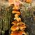 はちみつ · キノコ · 成長 · ツリー · クローズアップ - ストックフォト © rghenry