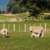 ニュージーランド · 母親 · 羊 · 1 · 小さな · 子羊 - ストックフォト © rghenry