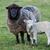 mãe · ovelha · primavera · Holanda · céu · bebê - foto stock © rghenry