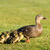 Mother Duck stock photo © rghenry