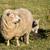 母親 · 羊 · 春 · オランダ · 空 · 赤ちゃん - ストックフォト © rghenry