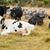 riposo · bovini · mucca · sabbia · terra · legno - foto d'archivio © rghenry