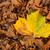 uno · amarillo · hoja · grande · hojas · de · otoño - foto stock © rghenry