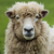 New Zealand Ewe Sheep stock photo © rghenry