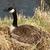 Канада · гусь · гнезда · сидят · пруд · рано - Сток-фото © rhamm