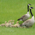 Two Adult Canada Geese with a Gaggle of Goslings stock photo © rhamm