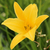 Yellow Lilies stock photo © rhamm