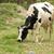 Holstein Cow in a Pasture stock photo © rhamm