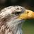 female bald eagle stock photo © rhamm