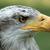 head of a female bald eagle stock photo © rhamm