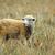 birka · legelő · áll · farm · állat - stock fotó © rhamm