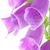 Common Foxglove in High Key stock photo © rogerashford