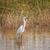 great withe heron in water stock photo © romitasromala