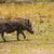 warthog in botswana stock photo © romitasromala