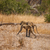 african baboon mother and baby in botswana stock photo © romitasromala