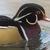 acorn duck ais sponsa stock photo © rosemarie_kappler