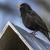 fekete · rigó · ül · felső · madár · asztal · természet - stock fotó © Rosemarie_Kappler