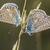 common bluepolyommatus icarus stock photo © rosemarie_kappler