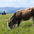 корова · альпийский · пастбище · красивой · лет · пейзаж - Сток-фото © rozbyshaka