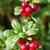 forest cranberries Bush of ripe berries. a few red berries stock photo © RuslanOmega