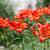 Rood · lelie · bloemen · geïsoleerd · bloem · schoonheid - stockfoto © ruslanomega