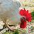 белый · петух · фермы · куриные · Перу - Сток-фото © ruslanomega