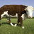 Single Hereford Cow stock photo © russwitherington
