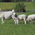ovejas · dos · Pascua · hierba · campo · verde - foto stock © russwitherington