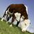 Cow Grazing stock photo © russwitherington