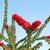 bougainvillea flowers stock photo © ruzanna