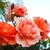 香ばしい · 黄色 · バラ · レトロな · ボトル · 霊 - ストックフォト © ruzanna