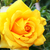 Geel · steeg · bloem · textuur · achtergrond - stockfoto © ruzanna