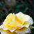 yellow rose stock photo © ruzanna