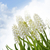 white muscari flowers stock photo © saddako2
