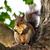 ağaç · kemirgen · hayvan · kürk · sincap · ahşap - stok fotoğraf © saddako2