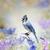 blue jay in the garden stock photo © saddako2