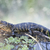 amerikai · aligátor · cápa · völgy · biológia · szabadtér - stock fotó © saddako2