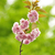 amande · branche · fleurir · isolé · blanche · fleurs - photo stock © saddako2