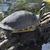 fa · teknős · közelkép · veszélyeztetett · észak · amerikai - stock fotó © saddako2