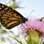 káprázatos · pillangó · fotó · gyönyörű · színes · szárnyak - stock fotó © saddako2