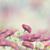 marguerite flowers stock photo © saddako2