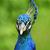 mooie · hoofd · pauw · natuur · schoonheid - stockfoto © saddako2