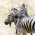 kettő · zebrák · etetés · fű - stock fotó © saddako2
